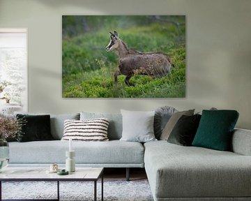 Gämse ( Rupicapra rupicapra ), Jungtier, springt lebenslustig einen Hang hinunter, wildlife, Europa. von wunderbare Erde