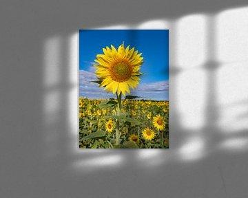 Die Sonnenblumenfelder in der Provence sind sehr, sehr schön, die Sonnenblumenfelder in der Provence von Hillebrand Breuker