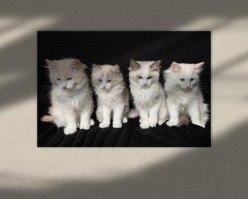Ragdoll-Kätzchen von Karin Riethoven