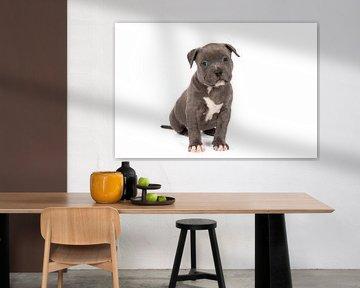 Ein amerikanischer Bully oder Bulldoggen-Welpe, der vor einem weißen Hintergrund sitzt von Leoniek van der Vliet