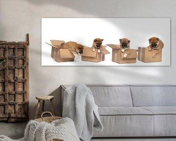 Vier Shiba-Inu-Welpen sitzen in einem Karton-Panorama vor einem weißen Hintergrund von Leoniek van der Vliet