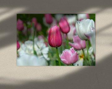 Tulpe mit Tautropfen von René Roelofsen