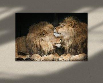 Zwei Löwen in Nahaufnahme von Erik Wouters