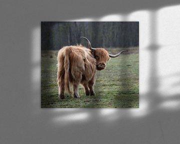 Schotse hooglander op de hei van europe photography