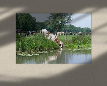 Rood bonte koe drinkt uit een rivier onder het prikkeldraad door in een grasland in de zomer van Leoniek van der Vliet