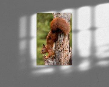 Eichhörnchen von Henk Zielstra