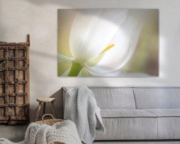 Tulipe blanche sur Enna Butte