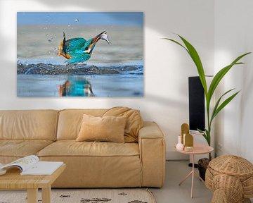 Martin-pêcheur - Acrobat