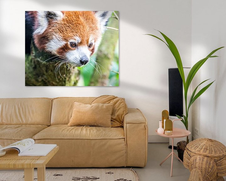 Beispiel: Roter Panda/Kleiner Panda von de buurtfotograaf Leontien
