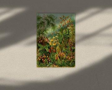 Muscines (mossen), Ernst Haeckel