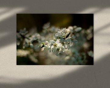 Blühen in der Frühlingssonne von Natasja Bittner