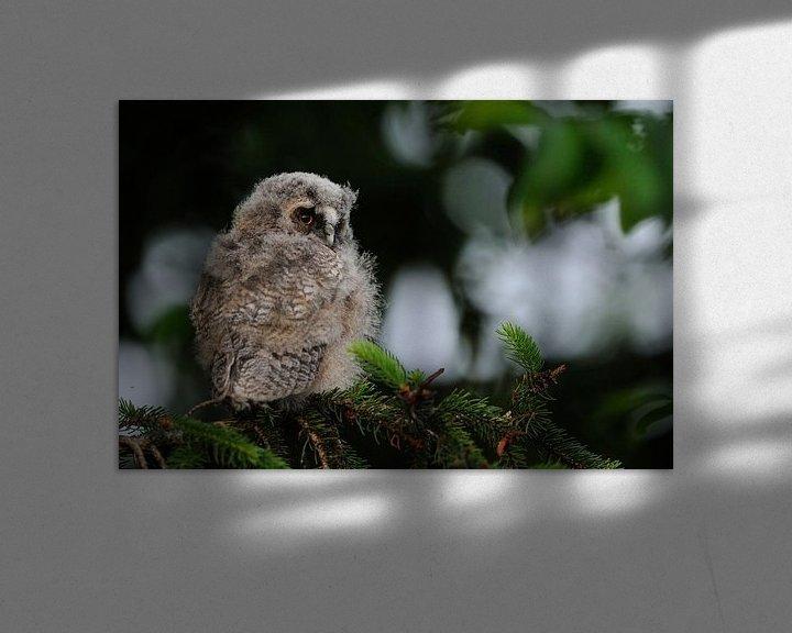Beispiel: Waldohreule ( Asio otus ), Jungvogel, Ästling in einem Nadelbaum, wildlife, Europa. von wunderbare Erde