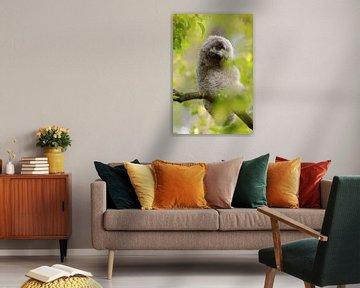 Waldohreule ( Asio otus ), Jungvogel verdreht den Kopf, lustiges Bild, wildlife, Europa. von wunderbare Erde