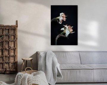 getrocknete Narzisse von Karel Ham