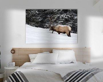 Wapiti ( Cervus canadensis ), scrabbelen naar voedsel in de sneeuw, Yellowstone NP, USA. van wunderbare Erde