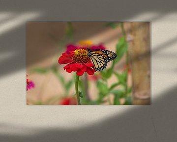 Monarch-Schmetterling auf einer roten Gerbera von gea strucks