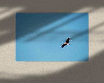 roofvogel  zoekend in de lucht van wil spijker