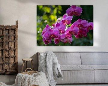 Orchidee Phaleanopsis lila blühend von Paul