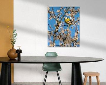 Blaumeise im Blütenparadies