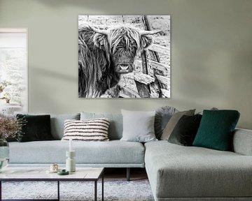 Schottische Highlander-Kuh in schwarz-weiß