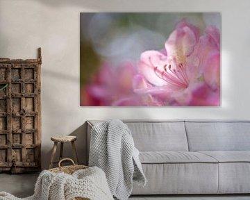 Fleur rose de rhododendron