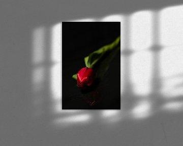 Eine Tulpe mit romantischem Aussehen von As Janson