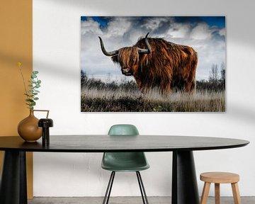 Hooglander koe uit Schotland in een open veld