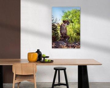 Zwei erwachsene Geparden von Bobsphotography