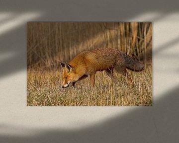 Fox von Peter Deschepper
