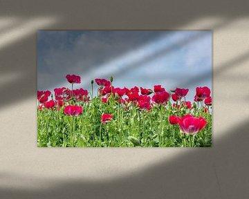 Ein Feld mit roten Mohnblumen. von Arie Storm