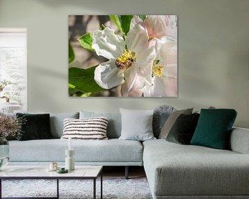 Fleur de pommier sur Stijn Cleynhens