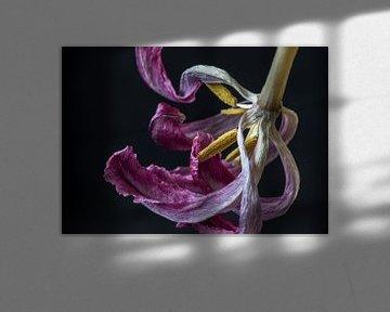 Tulpe in ihrer endgültigen Form von Marjon Birza