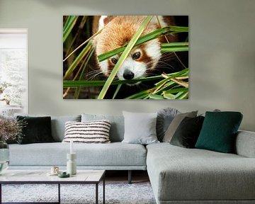 Roter Panda genießt das Gras von peter reinders