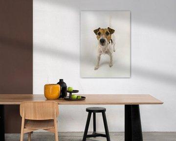 Hund parson russel terrier von Moniek van Rijbroek