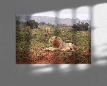 Löwenrudel von Bobsphotography