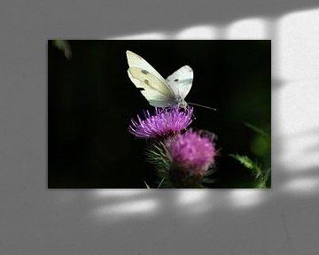 Chou blanc sur chardon rose sur Mirjam Welleweerd