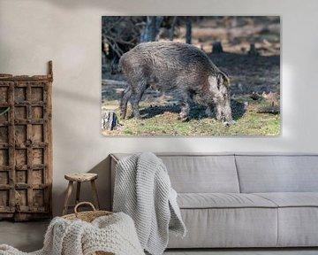 Wildschwein von Merijn Loch