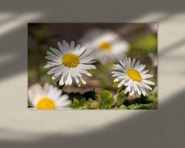 Gänseblümchen von André Dorst