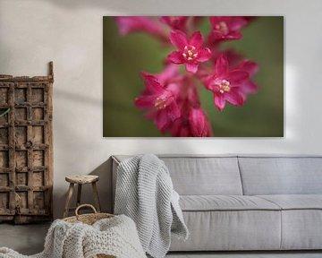 Nahaufnahme einer Blume der Ribes von Cor de Hamer