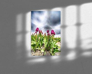 Violette Tulpen 2020 A von Alex Hiemstra