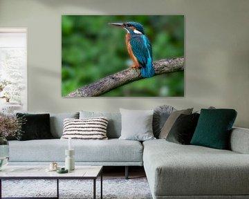Kingfisher in Amsterdam