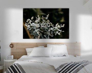 Eukalyptus Gunnii von Carla van Dulmen