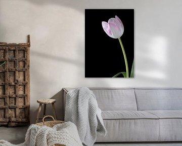 Weiß-rosa Tulpe auf schwarz von Carine Belzon