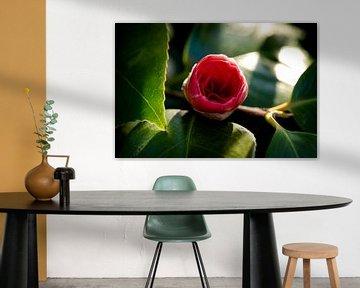 Rote Rose gerade aus der Knospe von mandy vd Weerd