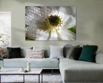 Weiße Anemonenblüte von Nicole
