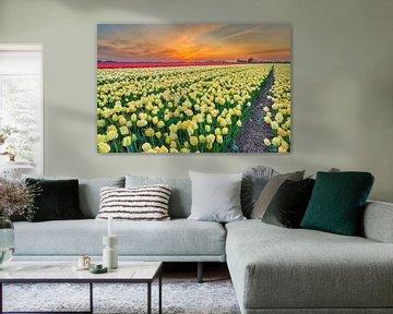 Zonsopkomst boven een bloembollenveld met Gele tulpen  in de lente