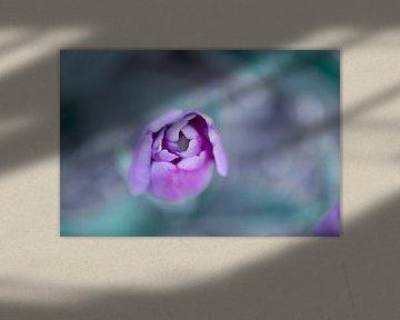 Paars roze tulp van boven gezien van Marcel van den Bos
