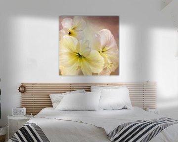 Weiße amaryllis von Annette Schmucker