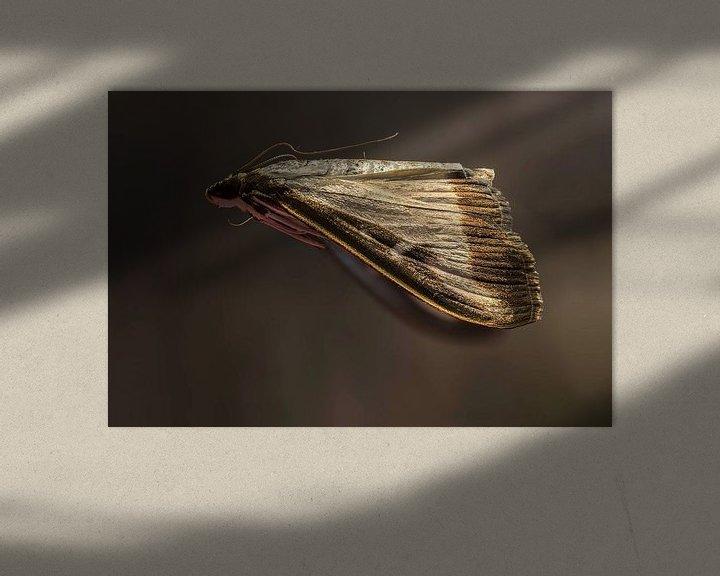 Impression: De Buxusmot - Cydalima perspectalis sur Rob Smit