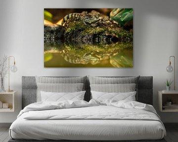 Jonge Brilkaaiman - Caiman crocodilus van Rob Smit
